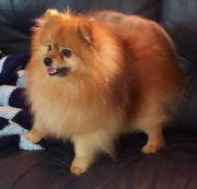 UKC Ch. Pomdel's Classical Music-Click here for the Pomeranian Page