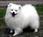 UKC Ch. White Dove's Infinite Wisdom- Click here for the American Eskimo Page.
